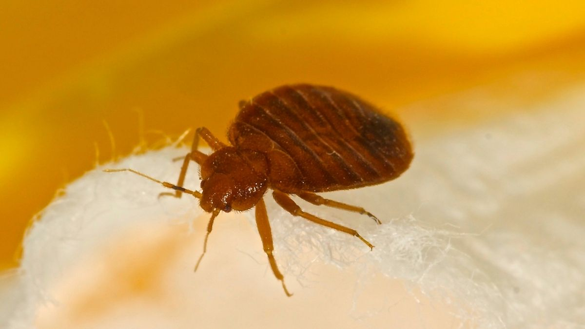 Does Steam Cleaning Kill Bed Bugs