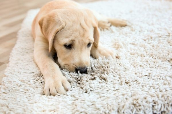 Puppy lying on dirty carpet